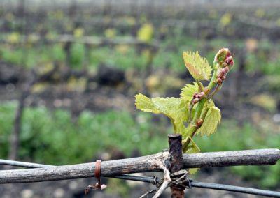 wijngaard - knop